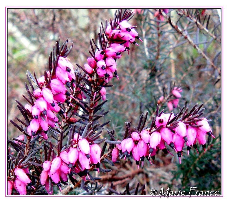 Macro de branche de bruyère fleurie