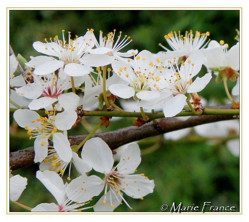 fleur s de pruniers
