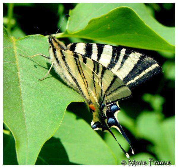 un papillon : le Flambé