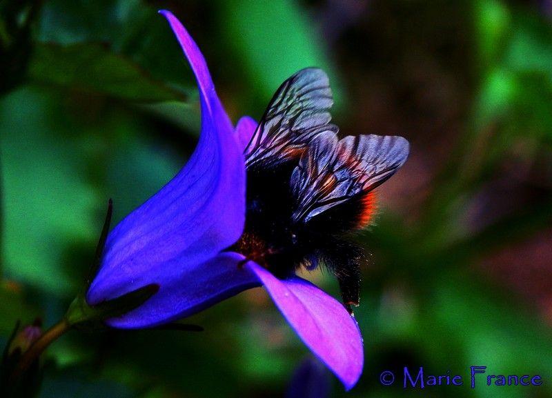 bourdon , insecte