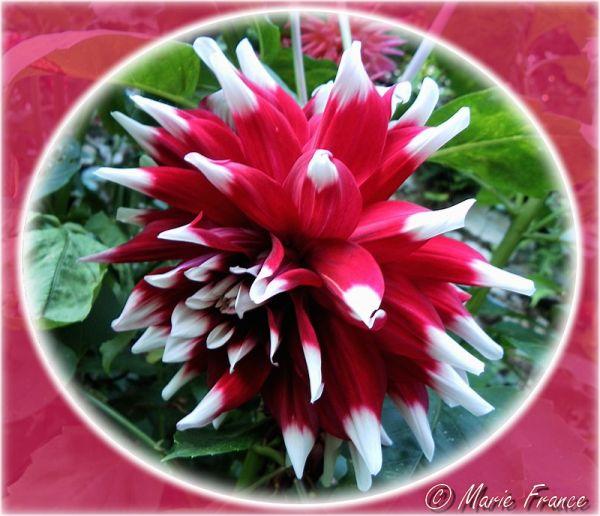 dalhia rouge et blanc
