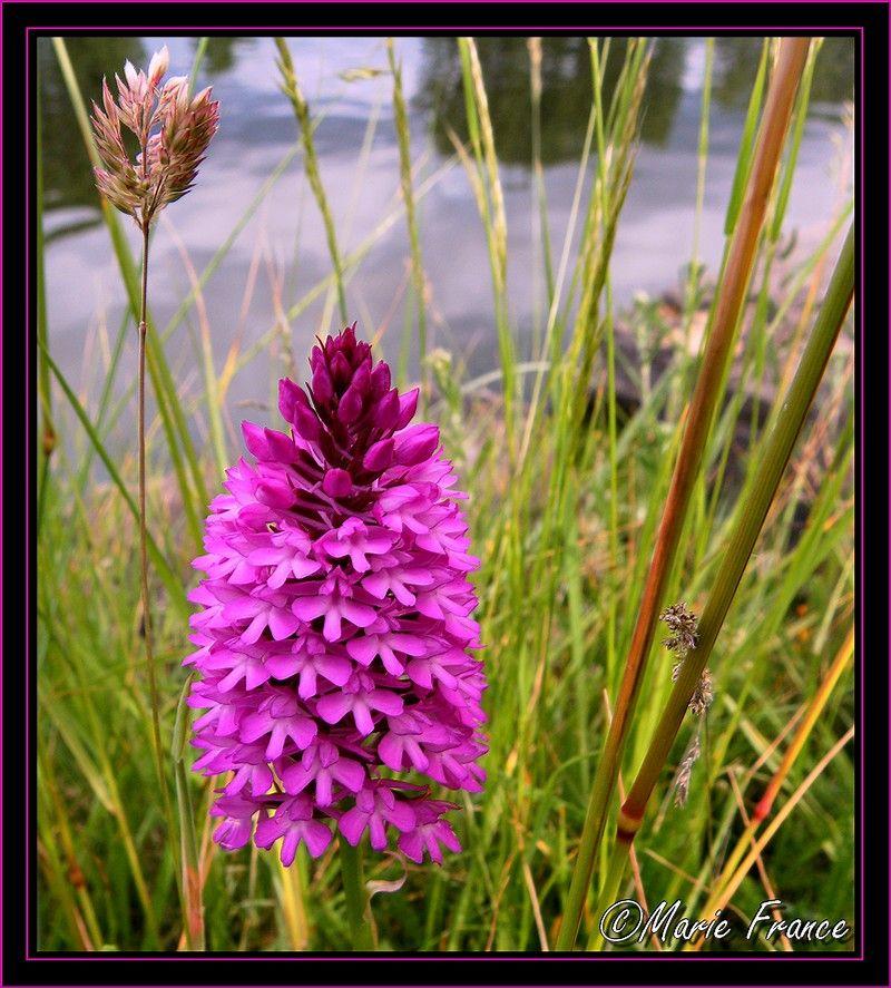 fleur orchis pyramidale