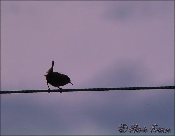 oiseau sur un fil