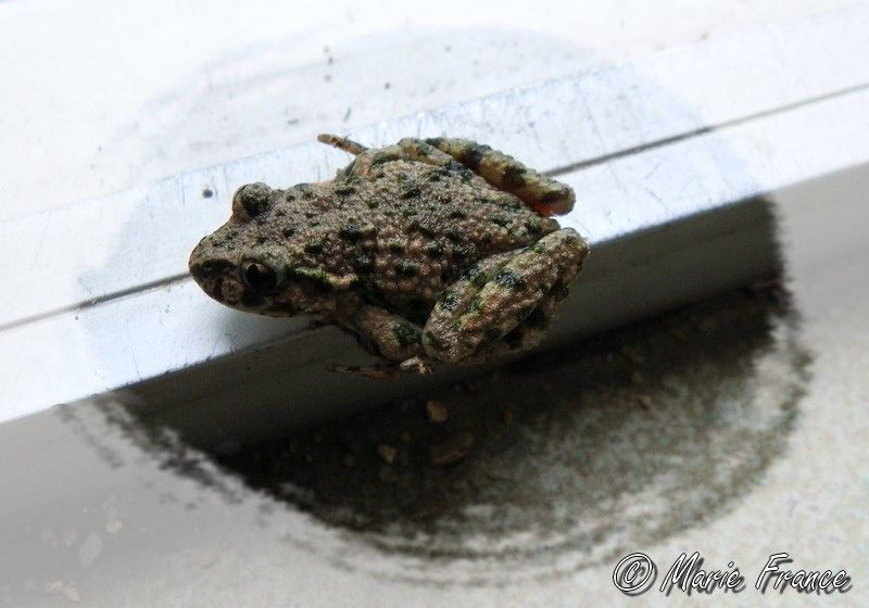 crapaud ou grenouille...