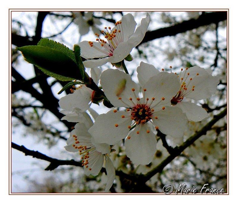 fleurs de fruitiers