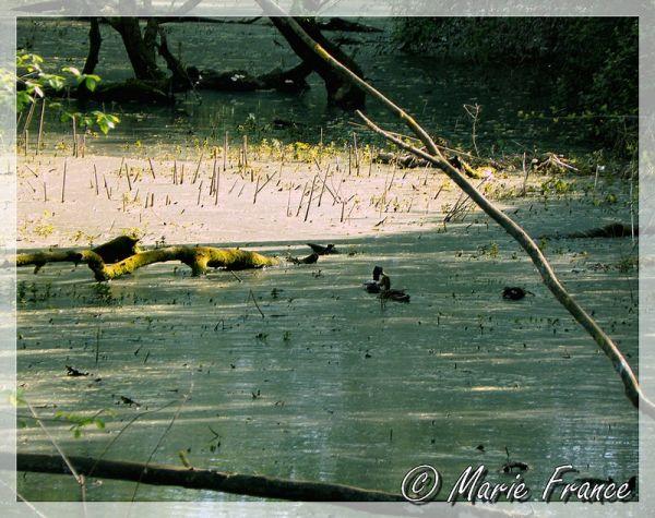 canards sous des ombrages...