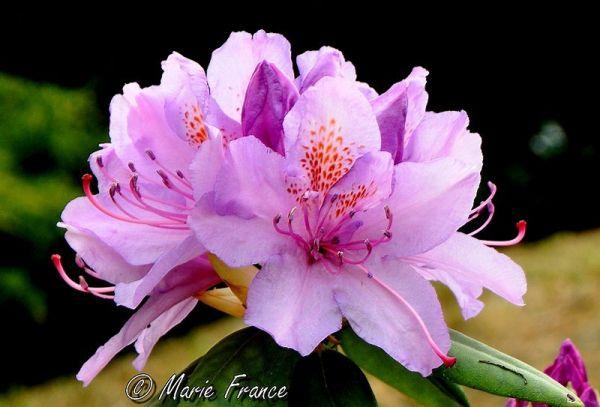 J'aime bien les rhododendrons...
