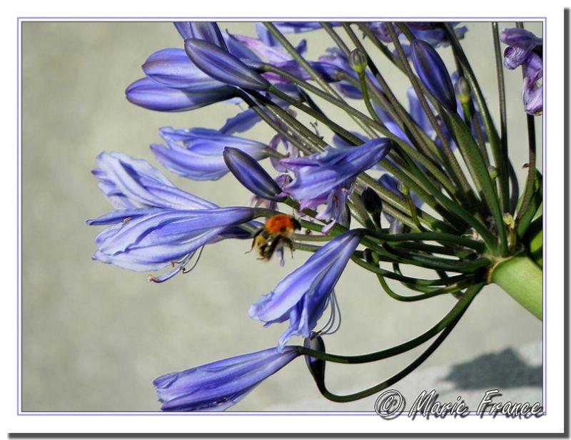 Insecte bourdonnant près d'une fleur