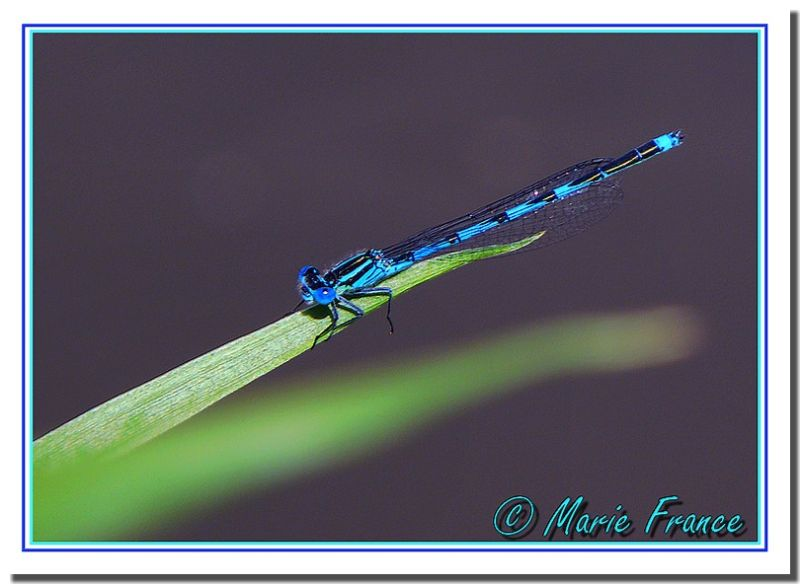 libellule bleue sur herbe verte