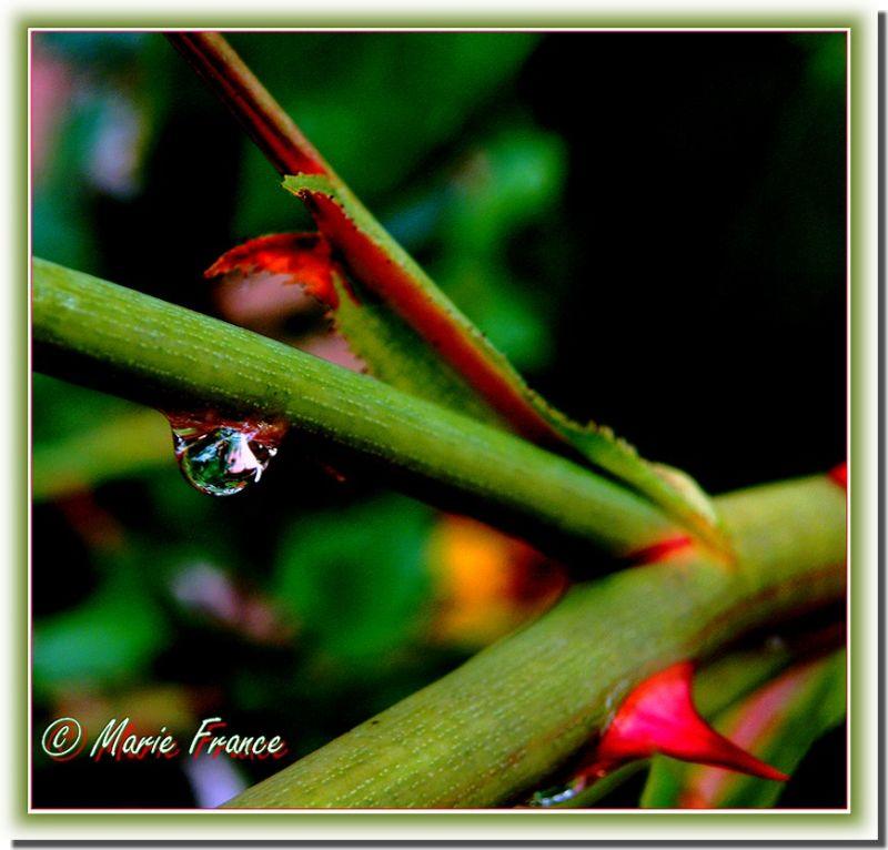 goutte d'eau sur une tige de rosier