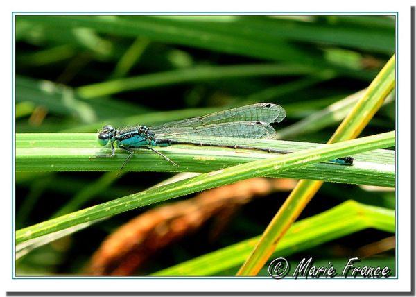 libellule dans l'herbe