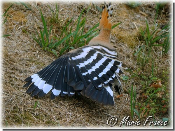 huppe fasciée ailes déployées