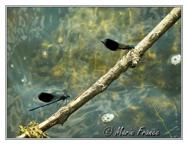 libellules sur une branche
