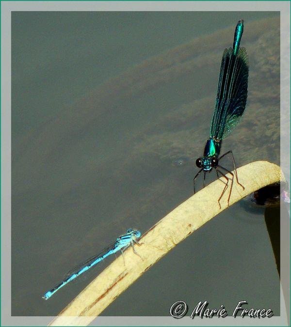 Deux libellules sur une herbe