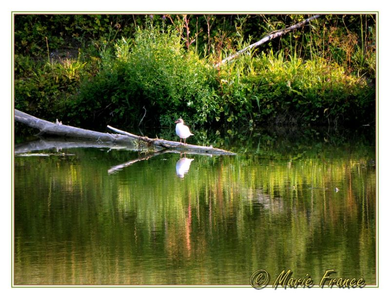 mouette et reflets dans rivière