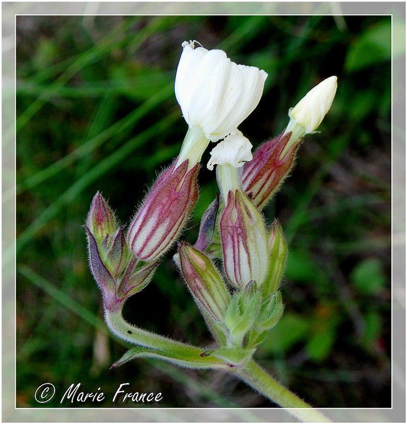 fleur des champs blanche