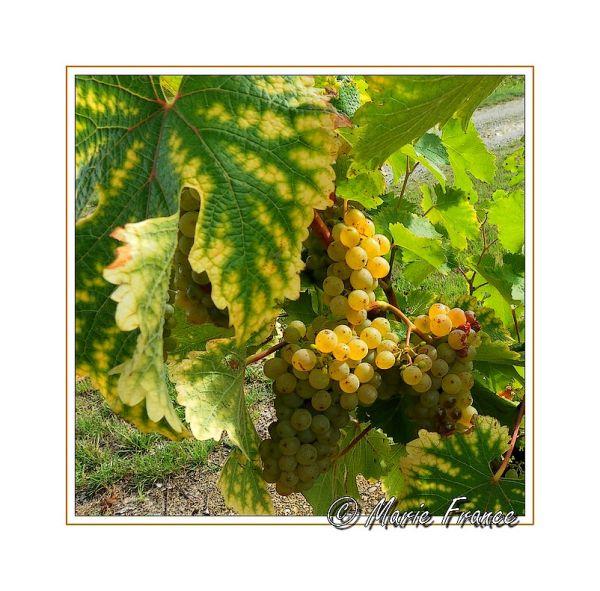 grappe de raisins sous les feuilles