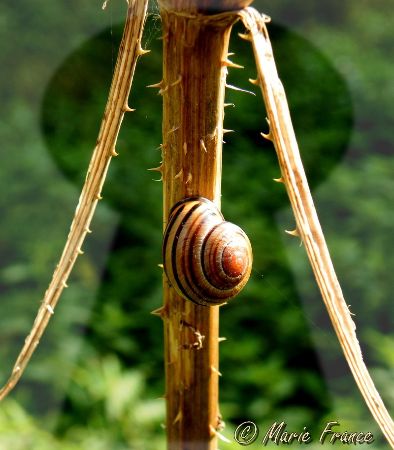 escargot sur plante sèche