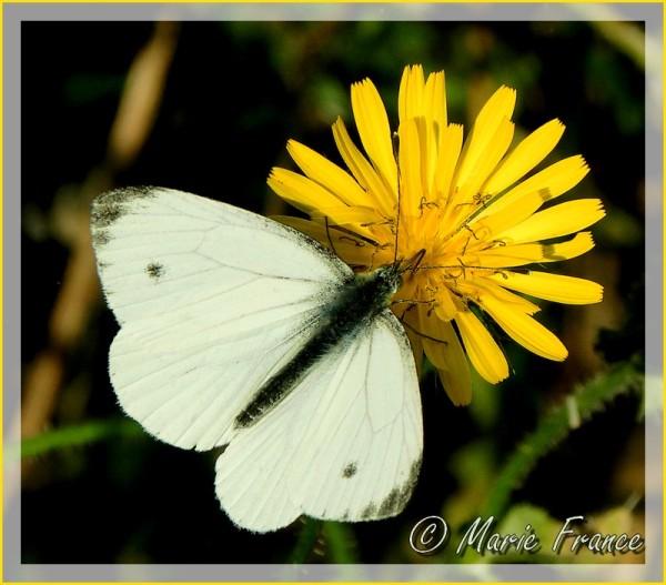 Papillon blanc sur fleur jaune
