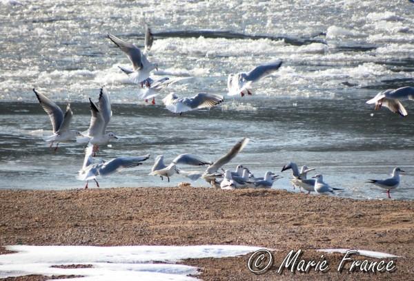 Mouettes sur la Loire glacée