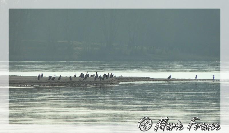 A contre jour , cormorans sur sable de Loire