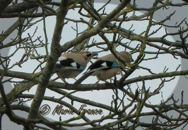 geais sur une branche