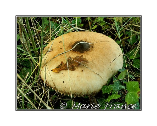 Gros champignon 25 cm