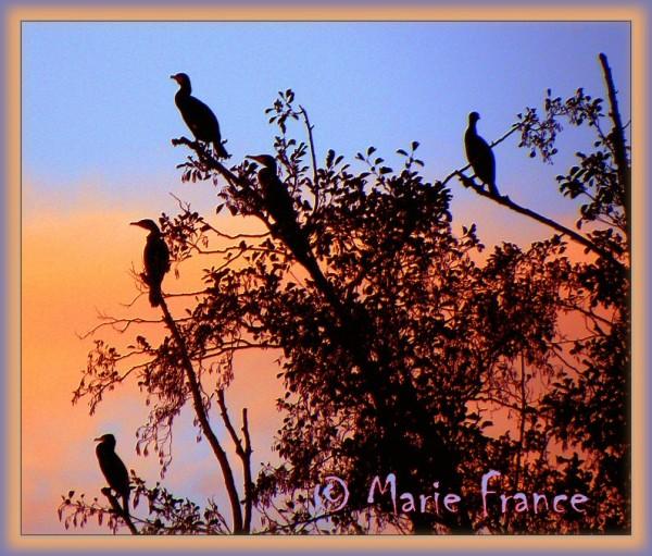 cormorans le soir  sur un arbre