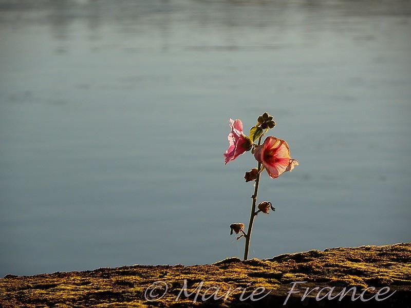 Fleur derrière une murette en bord  de Loire