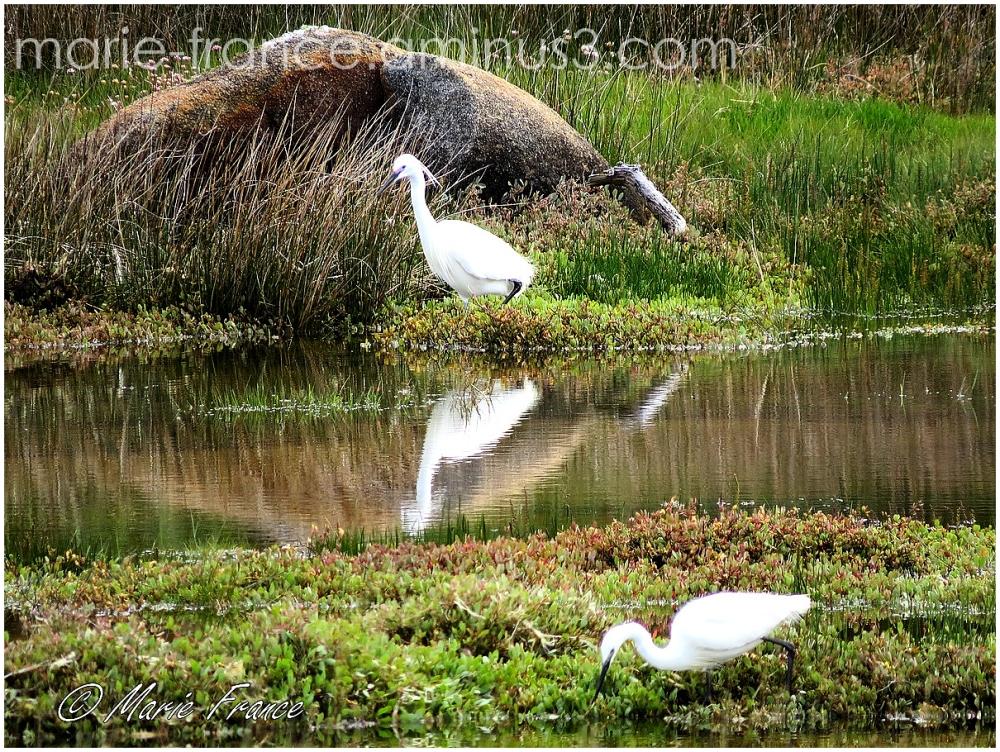 Deux aigrettes dans un marais breton