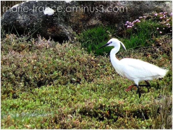 aigrette dans les marais bretons
