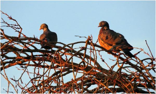 Deux tourterelles au lever du soleil