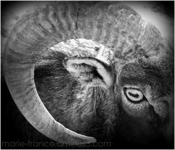 oeil et corne de moufflon