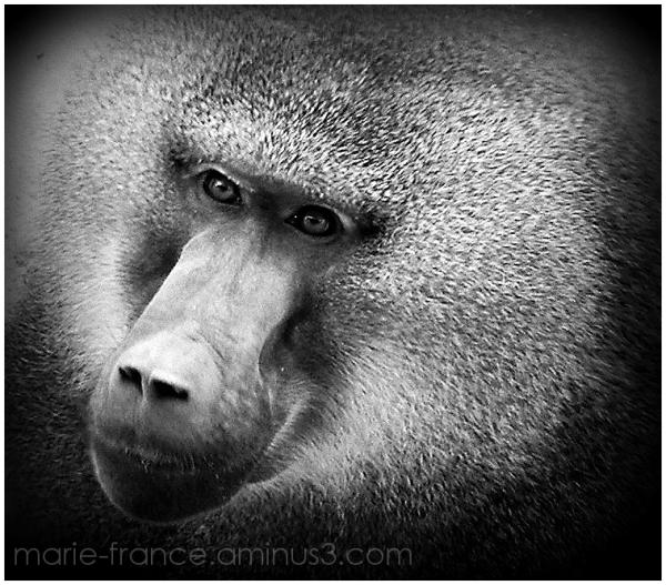 tête de singe en N et B