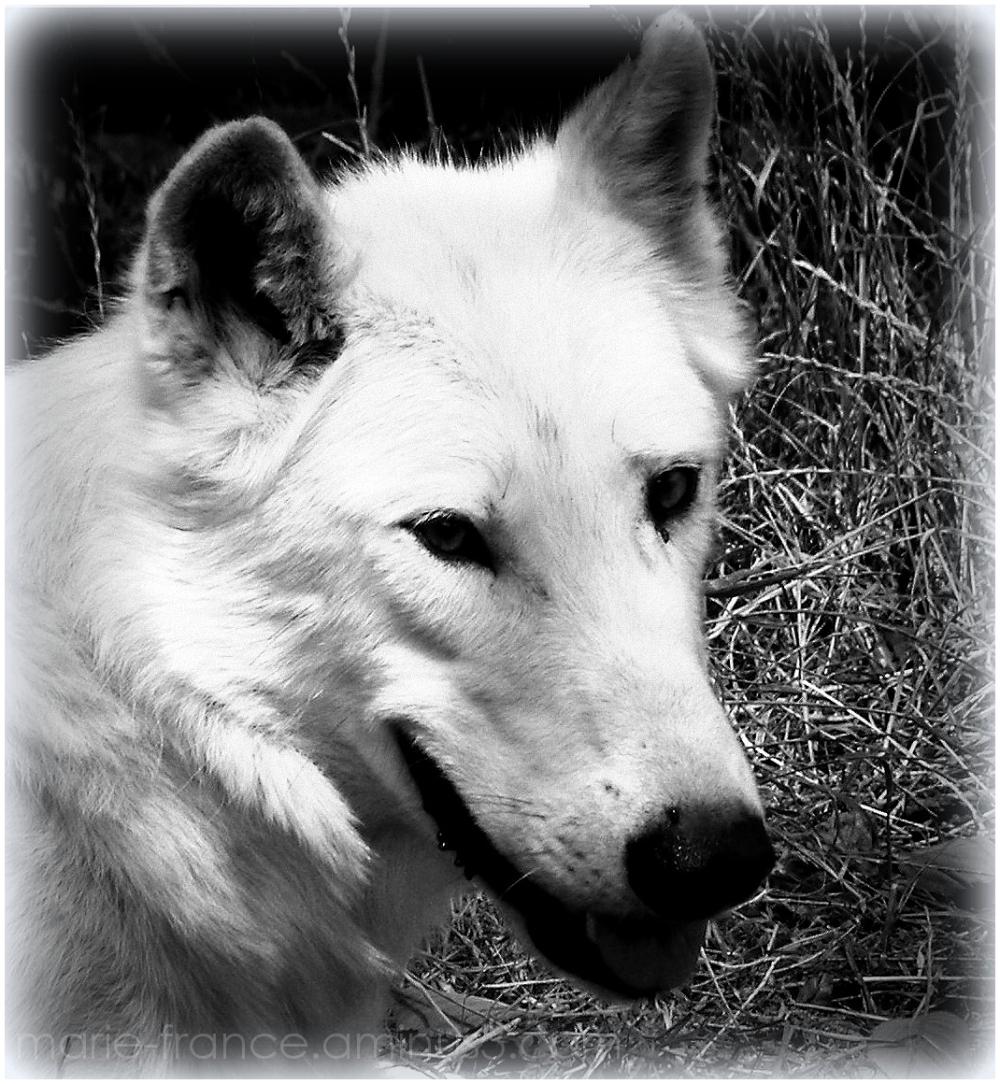 la tête d'un loup blanc