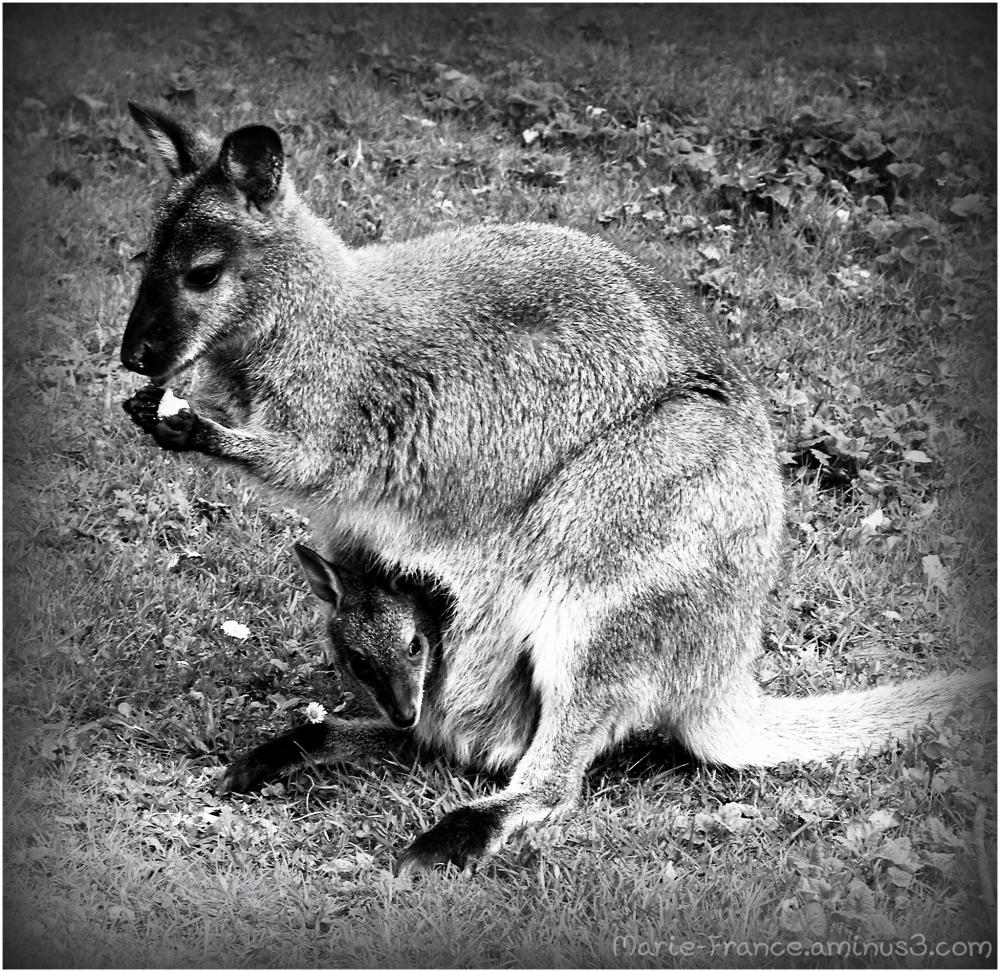 Wallaby et son petit
