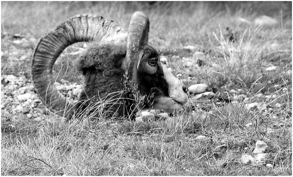 mouflon couché dont on ne voit que la tête