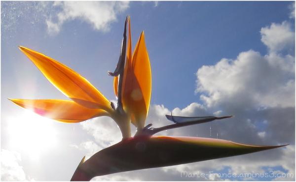 fleur de strélitzia