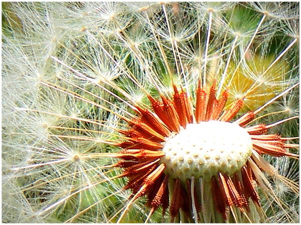 Fleur de pissenlit en graines