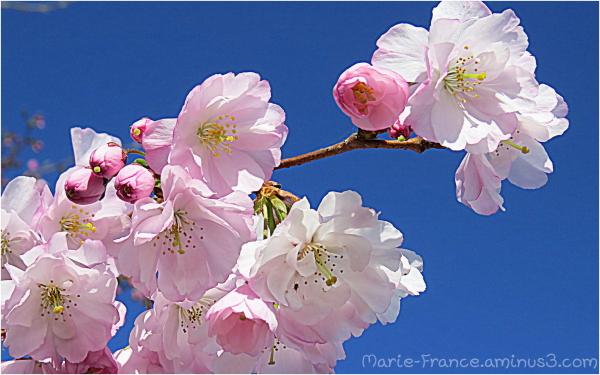 branche fleurie de prunus
