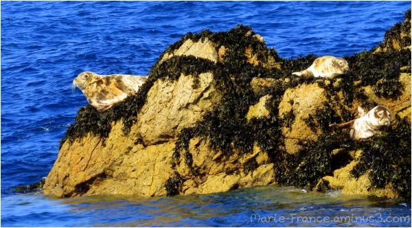 Trois phoques en Bretagne