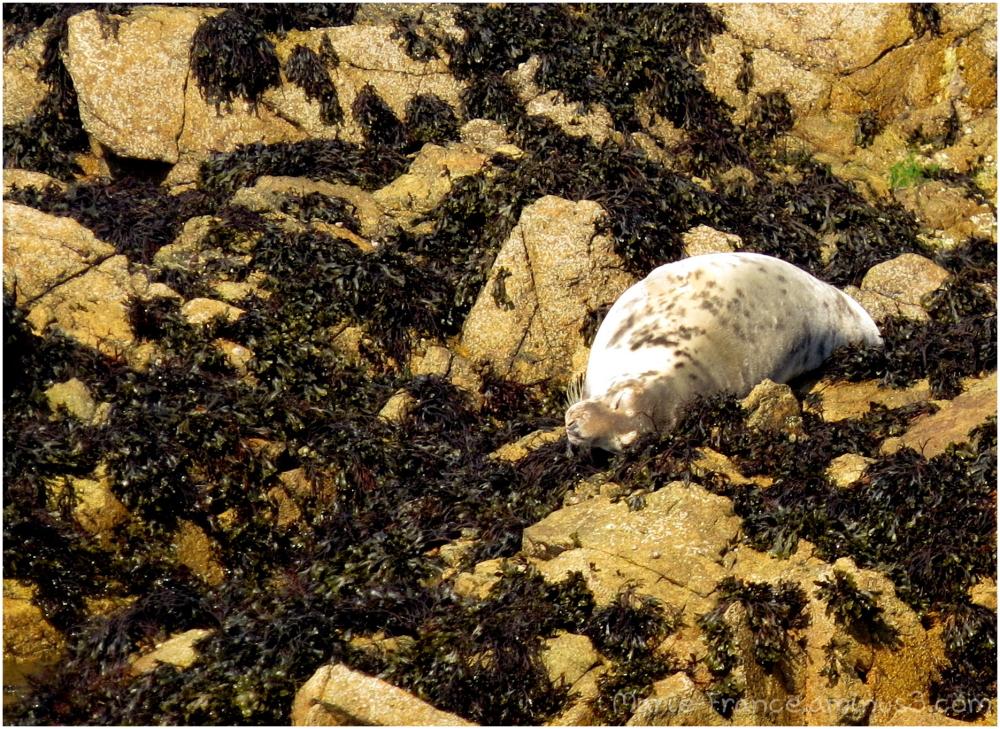 phoque couché sur un rocher en Bretagne