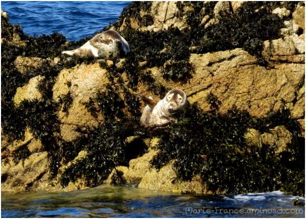 deux phoques en Bretagne