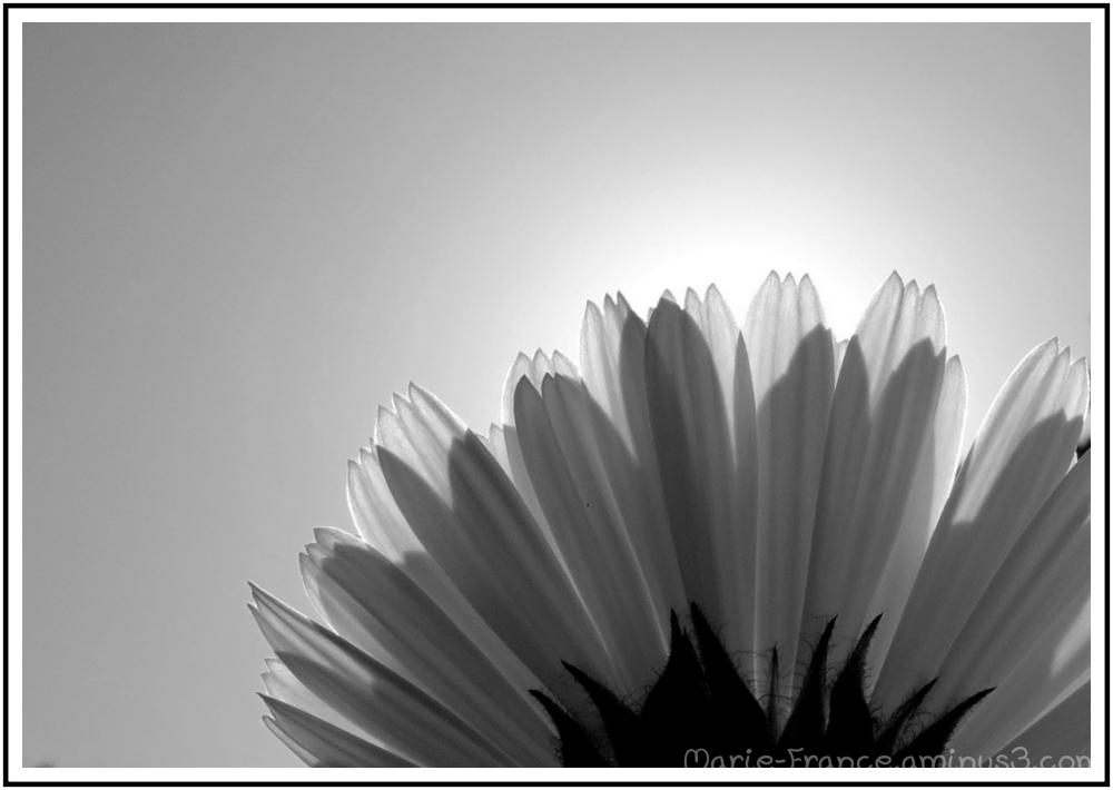 Pétales de fleur dans la lumière en noir et blanc