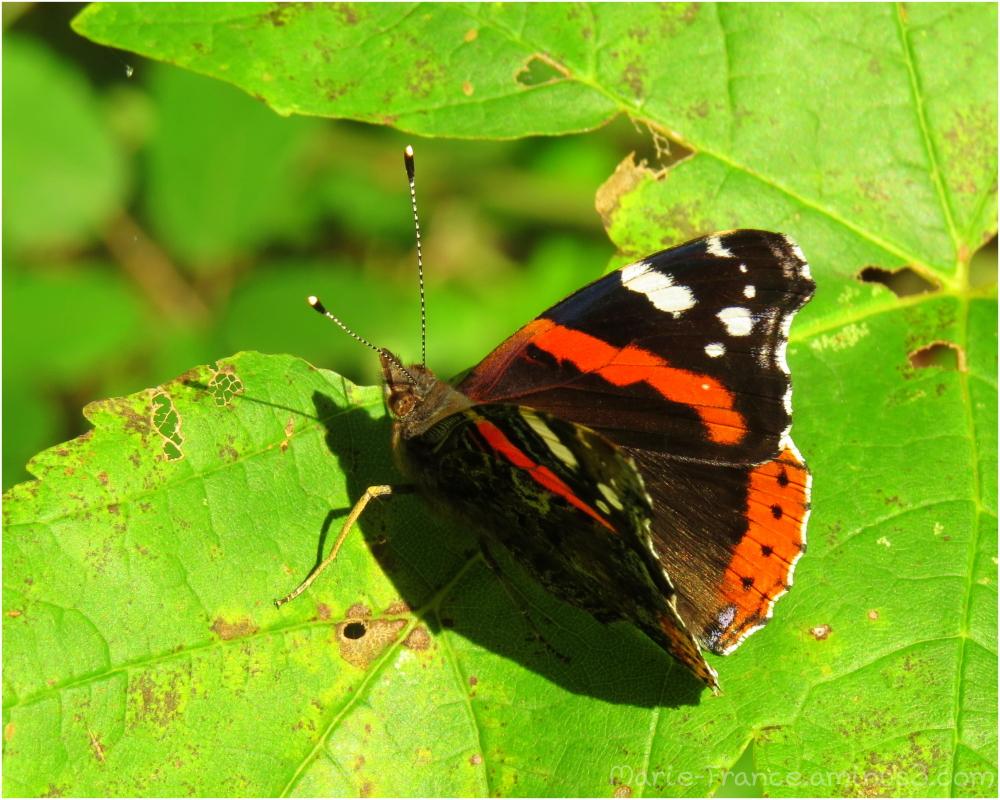 papillon sur une feuille