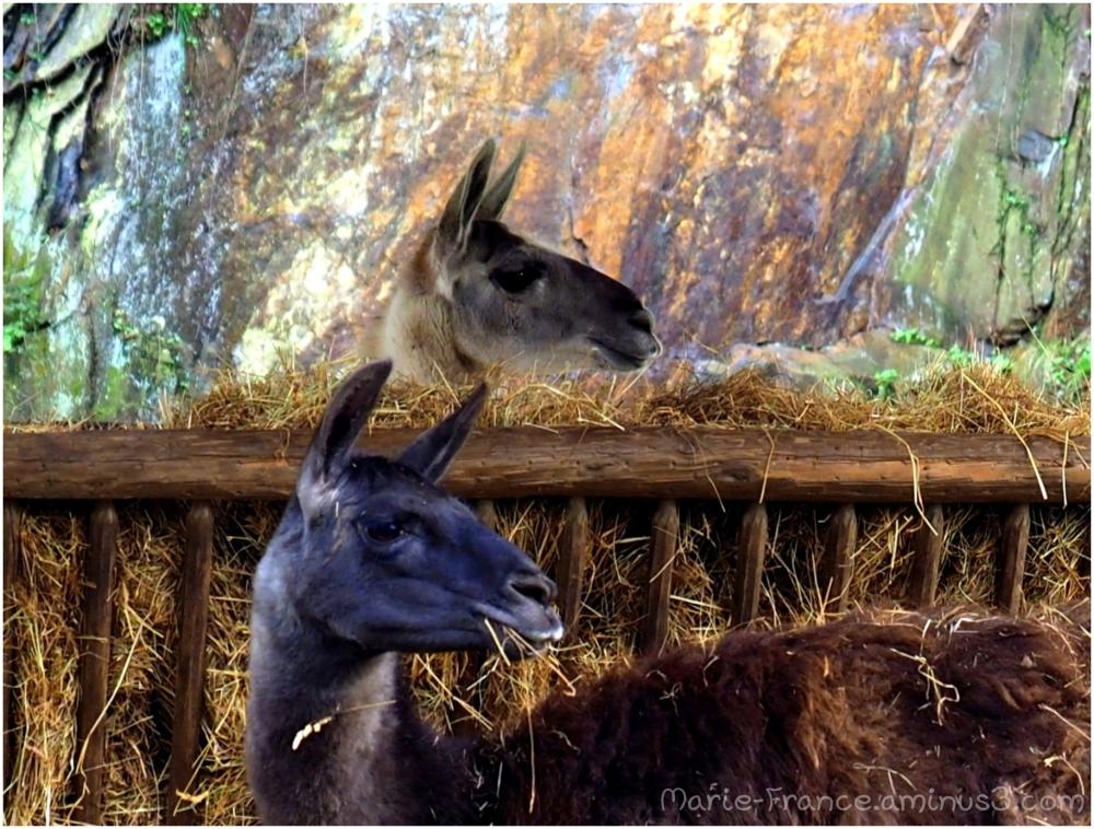 lamas au parc St Nicolas à Angers