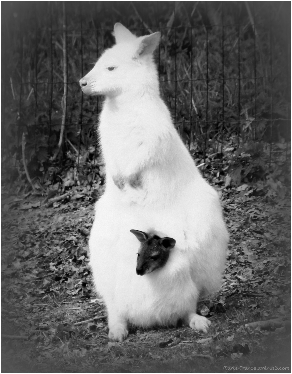 un wallaby albinos avec son petit