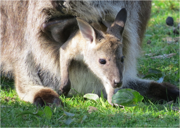 Bebe wallaby