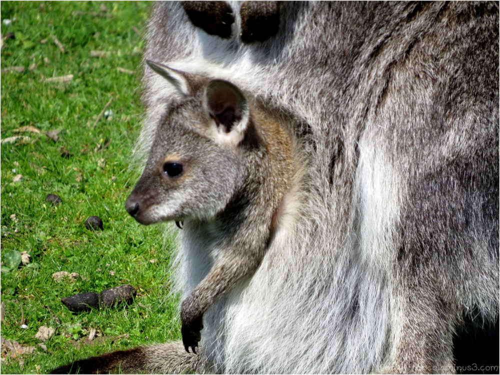 Bébé wallaby