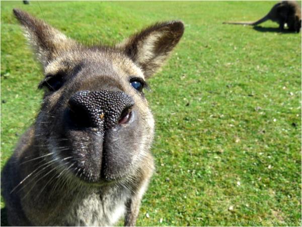 tête de kangourou...